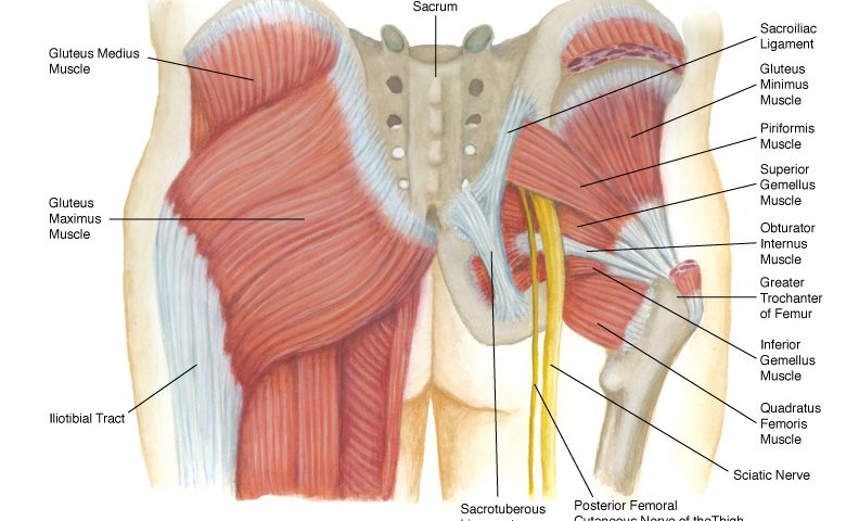 Anatomy of the buttocks muscles